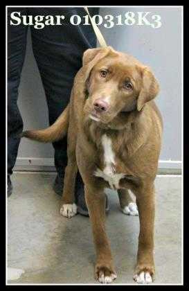 Adopt Sugar a Brown/Chocolate Labrador Retriever / Mixed dog in Wisconsin