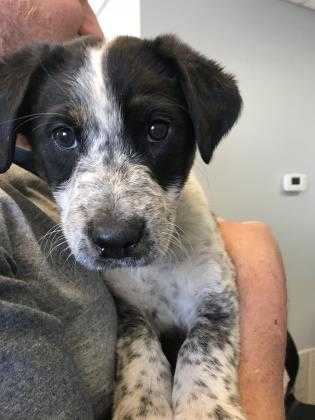 Adopt Olim a Black Australian Cattle Dog / Mixed dog in Kirby, TX (20528134)