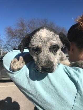 Adopt Cinder a Black Australian Cattle Dog / Mixed dog in Kirby, TX (20528136)