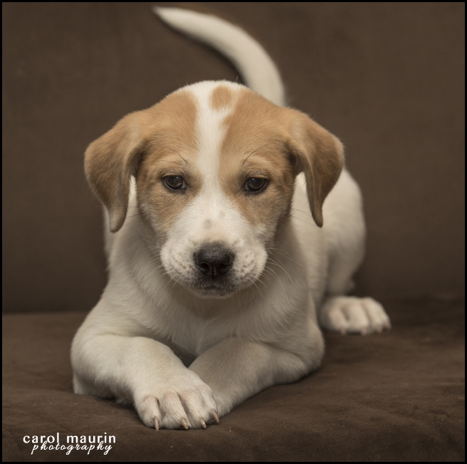 Adopt Thelma a Labrador Retriever, Pit Bull Terrier