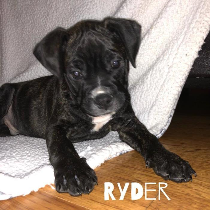 Adopt Ryder a Boston Terrier
