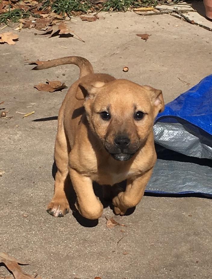 Adopt Alexa a Rottweiler, Australian Shepherd