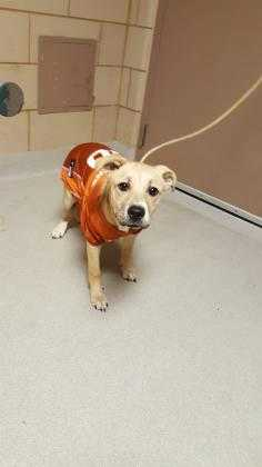 Adopt Ava a Tan/Yellow/Fawn Retriever (Unknown Type) / Mixed dog in Mesquite