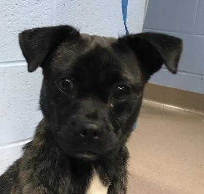 Adopt Lyndi a Brindle Mixed Breed (Small) / Mixed dog in Chamblee, GA (20515703)