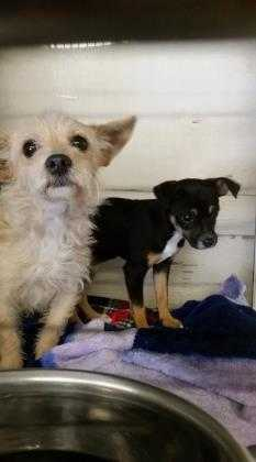 Adopt 37586471 a Tan/Yellow/Fawn Terrier (Unknown Type, Small) / Mixed dog in