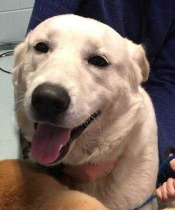 Adopt Lucile a White Retriever (Unknown Type) / Mixed dog in New Castle