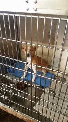 Adopt Canica a Red/Golden/Orange/Chestnut Terrier (Unknown Type