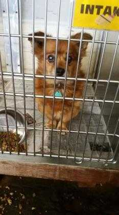 Adopt Oso a Brown/Chocolate Terrier (Unknown Type, Small) / Mixed dog in Fresno