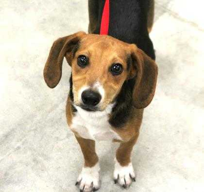 Adopt Duke a Tan/Yellow/Fawn Beagle / Mixed dog in Heath, OH (20515452)