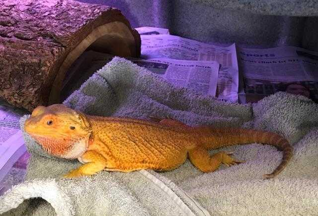 Adopt a Lizard / Mixed reptile, amphibian, and/or fish in Camarillo