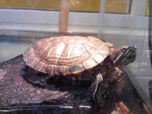 Adopt a Turtle - Water / Mixed reptile, amphibian, and/or fish in Upper