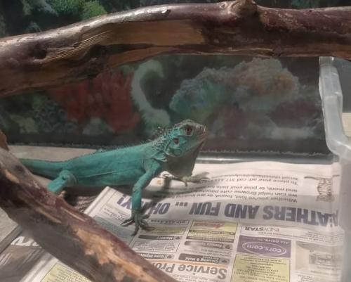 Adopt Azul a Iguana reptile, amphibian, and/or fish in Plainfield, IN (20702620)