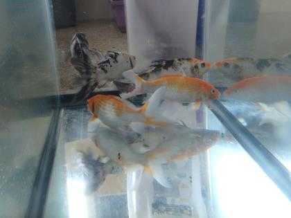 Adopt King Triton a Fish / Mixed reptile, amphibian, and/or fish in Honolulu