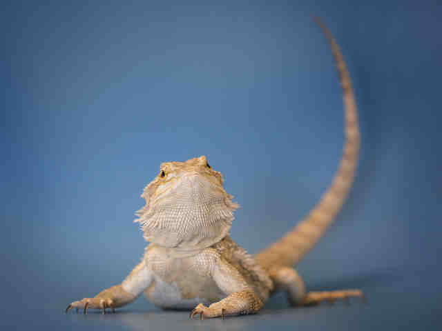 Adopt BRAWNY a Lizard / Mixed reptile, amphibian, and/or fish in Norfolk