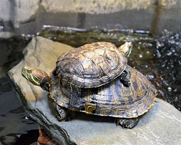 Adopt Olivia a Turtle - Water reptile, amphibian, and/or fish in Novato