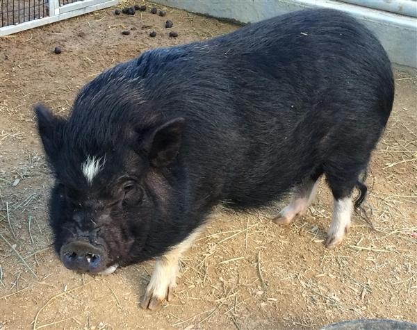 Adopt Molly a Pig