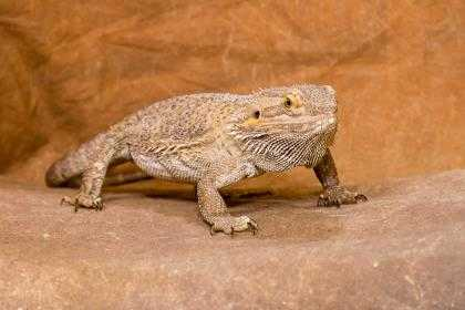 Adopt 37517915 a Lizard / Mixed reptile, amphibian, and/or fish in Chesapeake