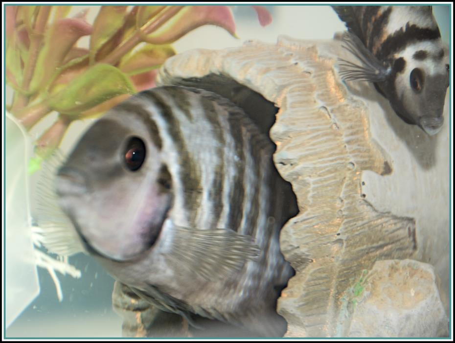Adopt 4 CONVICT CICHLID* a Freshwater Fish