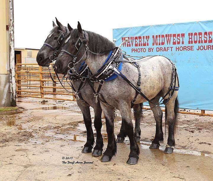 One if a Kind Blue Roan Percheron Team