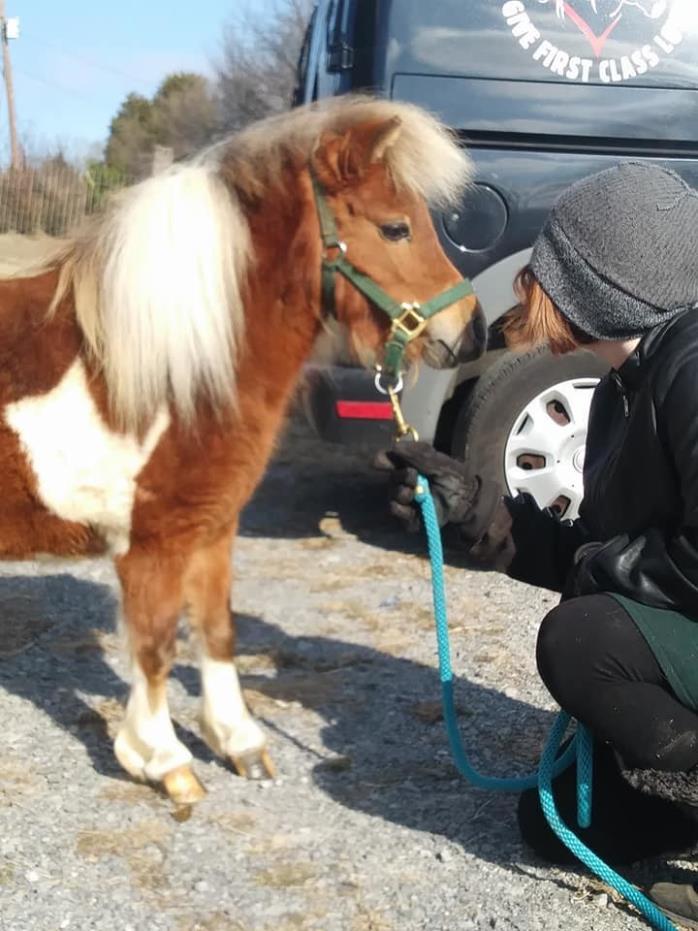 Adopt Trixie a Miniature Horse