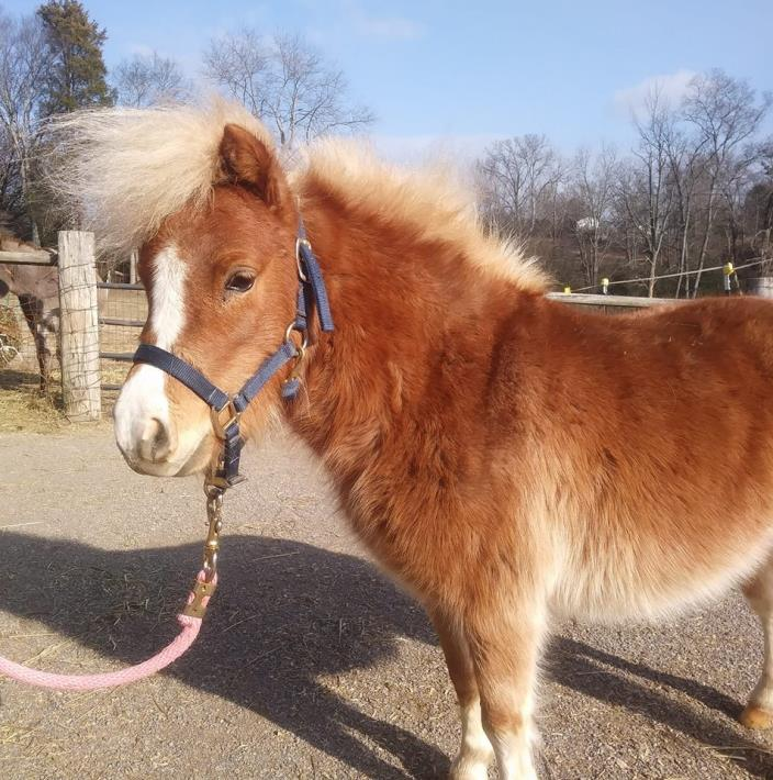 Adopt Marigold a Miniature Horse