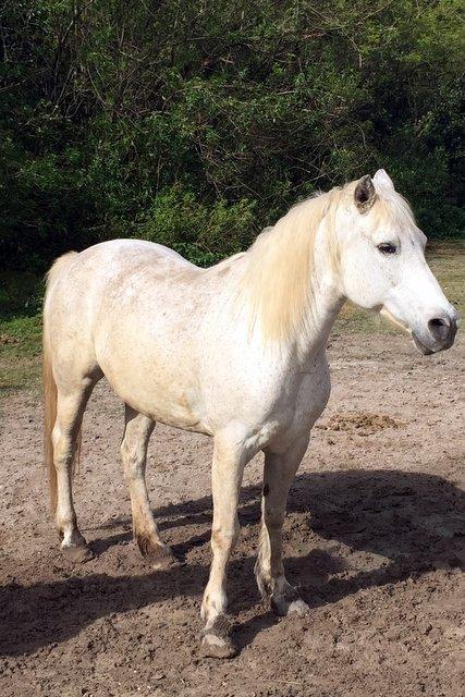 Adopt Sassy a Arabian