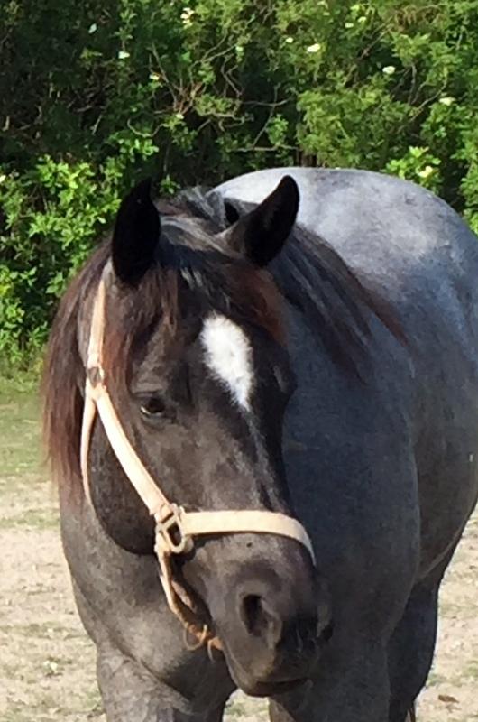 Adopt Marguerita a Quarterhorse