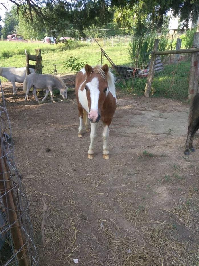 Adopt Jenga a Paint Miniature horse in Loudon, TN (19165193)