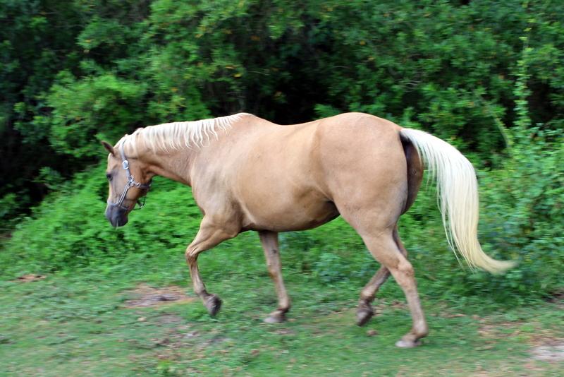 Adopt Casey a Quarterhorse