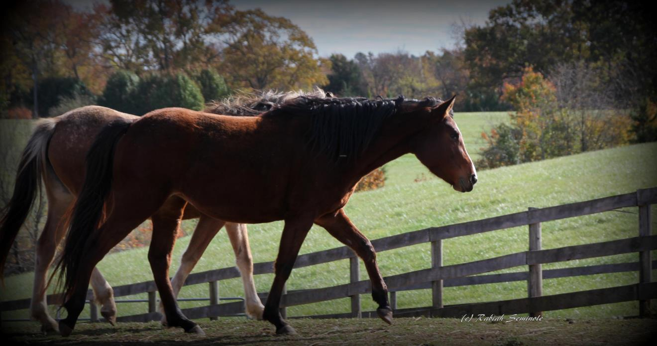 Adopt Sparky Project Horse: Piper a Appaloosa