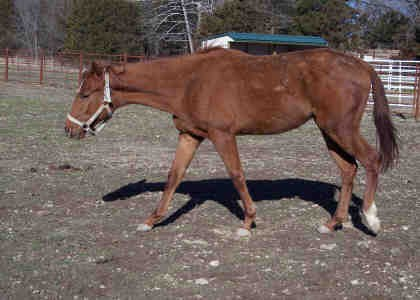 Adopt CLUELESS TOO a Thoroughbred / Mixed horse in Union, MO (20548014)