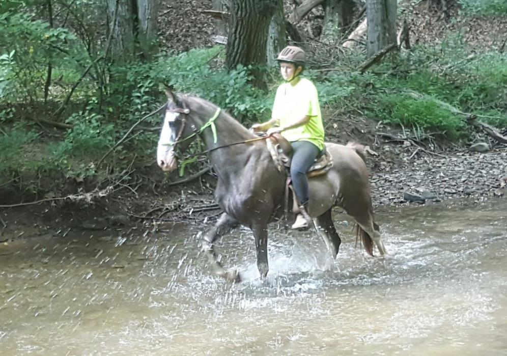 Spencer TWHBEA Blue Roan with Chrome 15H 8 yr old gelding