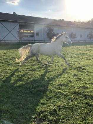 Adopt Nevra a Gray Pony - Other / Mixed horse in Novelty, OH (19714591)