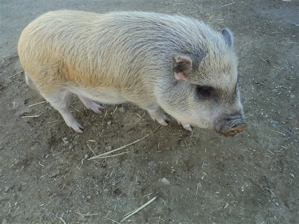 Adopt Princess Peach a Pig