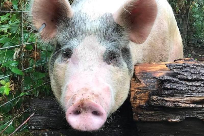 Adopt Heart a Pig