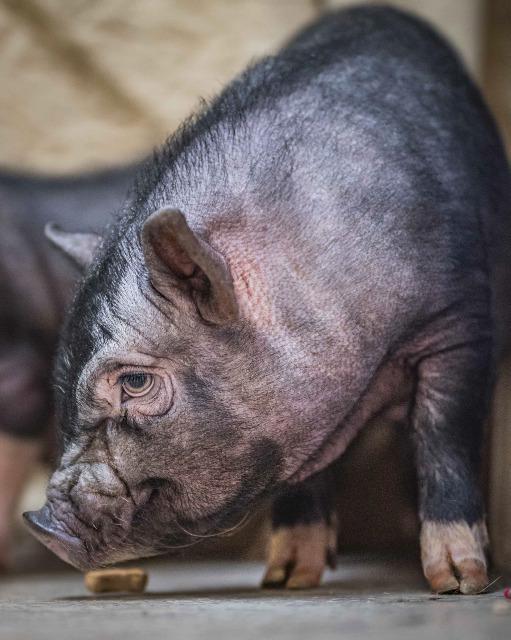 Adopt Stella a Pig