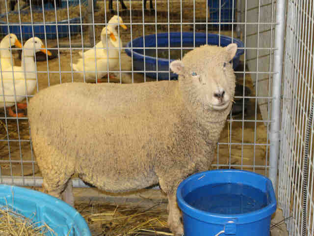 Adopt GERTRUDE a Sheep