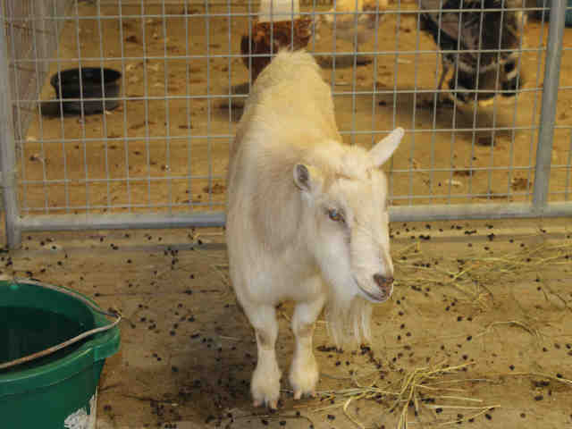 Adopt XANDER a Goat