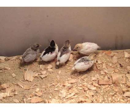 Button quail chicks 5 for $15 and hatching eggs, rare colors
