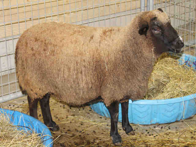 Adopt SOPHIA a Sheep