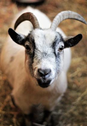 Adopt Georgina a Goat
