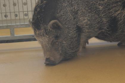 Adopt Pigachu a Pig