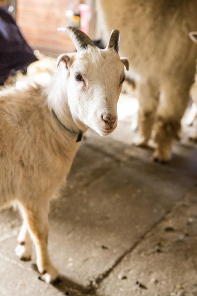 Adopt HYDE a Goat