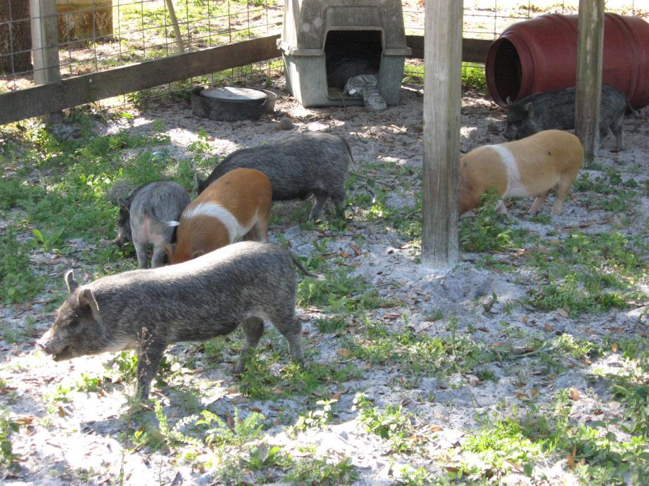 Adopt Pigs(6-young) a Pig