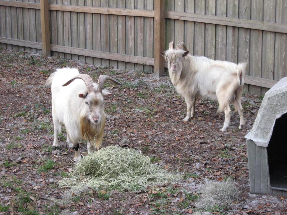 Adopt Kiko Billy goats(2) a Goat
