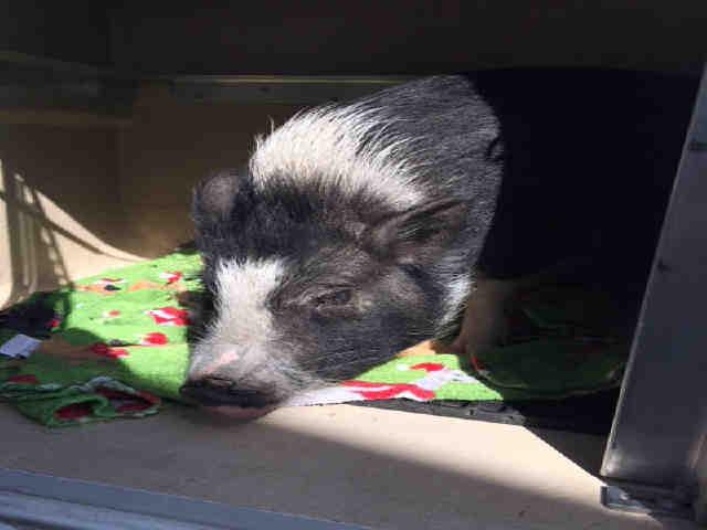 Adopt MISS PIGGY a Pig