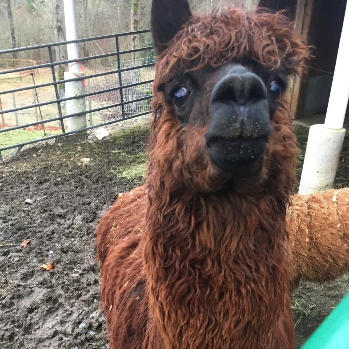 Adopt Catelyn a Alpaca