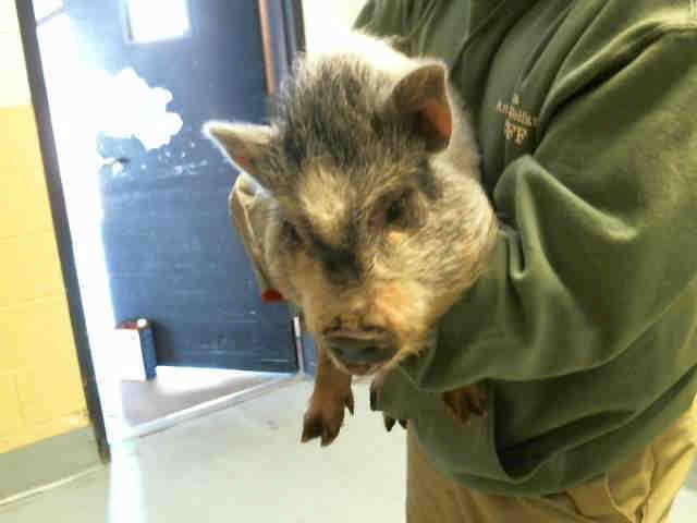 Adopt HAMILTON a Pig