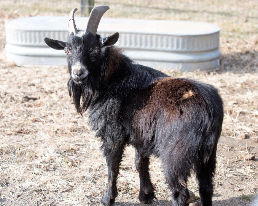 Adopt Vincent Van Goat a Nigerian Dwarf