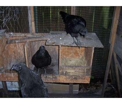 Svart Hona Breeding group for sale